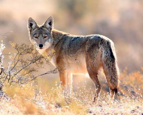 Desert Coyote Video For Kids